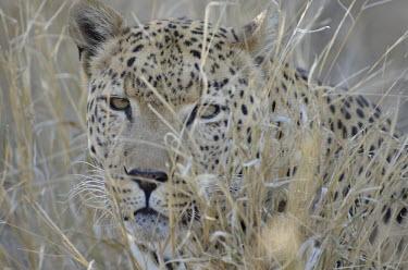 Leopard camouflaged in grass, Africa savannahs,savana,savannas,shrubland,savannah,Savanna,environment,ecosystem,Habitat,Grassland,coloration,Colouration,arid,drought,waterless,no water,dried up,barren,baked,Dry,parched,moistureless,Terre
