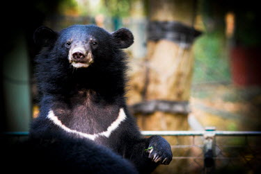 Asiatic moon bear being rescued and moved to the Animals Asia sanctuary, Vietnam Facial portrait,face,Portrait,face picture,face shot,Animal rescue,rescued,sanctuary,rescue,shelter,Asiatic black bear,Ursus thibetanus,Bears,Ursidae,Chordates,Chordata,Carnivores,Carnivora,Mammalia,M