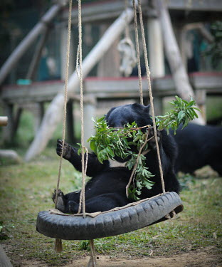 Rescued Asiatic moon bear playing in a swing, Animals Asia sanctuary, Vietnam positive,Happy,joyful,cute,Animal rescue,rescued,funny,humourous,lol,entertaining,humour,play,entertained,playing,entertainment,Playful,sanctuary,rescue,shelter,Asiatic black bear,Ursus thibetanus,Bea