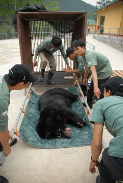 Rescued Asiatic moon bear, Animals Asia sanctuary, Vietnam Animal rescue,rescued,sanctuary,rescue,shelter,Asiatic black bear,Ursus thibetanus,Bears,Ursidae,Chordates,Chordata,Carnivores,Carnivora,Mammalia,Mammals,Ours � Collier,Oso De Collar,Ours De L'Himalay