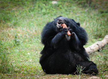 Rescued Asiatic moon bear at Animals Asia sanctuary, Vietnam positive,Animal rescue,rescued,Happy,joyful,sanctuary,rescue,shelter,Asiatic black bear,Ursus thibetanus,Bears,Ursidae,Chordates,Chordata,Carnivores,Carnivora,Mammalia,Mammals,Ours � Collier,Oso De Co