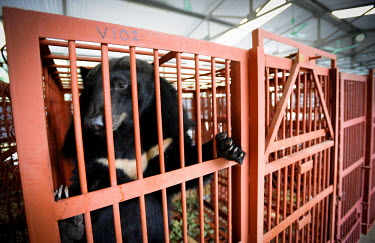 Asiatic moon bear being rescued and moved to the Animals Asia sanctuary, Vietnam Animal rescue,rescued,negative,sad,Sad,upset,sadness,panic,panicked,worried,scared,Afraid,sanctuary,rescue,shelter,Asiatic black bear,Ursus thibetanus,Bears,Ursidae,Chordates,Chordata,Carnivores,Carni