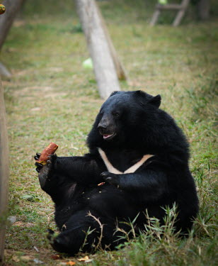 Rescued Asiatic moon bear at Animals Asia sanctuary, Vietnam Happy,joyful,positive,play,entertained,entertaining,playing,entertainment,Playful,Animal rescue,rescued,sanctuary,rescue,shelter,Asiatic black bear,Ursus thibetanus,Bears,Ursidae,Chordates,Chordata,Ca