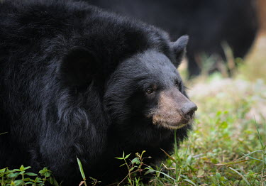 Rescued Asiatic moon bear at Animals Asia sanctuary, Vietnam sanctuary,rescue,shelter,Asiatic black bear,Ursus thibetanus,Bears,Ursidae,Chordates,Chordata,Carnivores,Carnivora,Mammalia,Mammals,Ours � Collier,Oso De Collar,Ours De L'Himalaya,Ours Du Tibet,Oso Ne