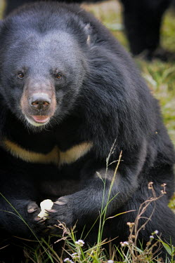 Rescued Asiatic moon bear at Animals Asia sanctuary, Vietnam Animal rescue,rescued,sanctuary,rescue,shelter,Asiatic black bear,Ursus thibetanus,Bears,Ursidae,Chordates,Chordata,Carnivores,Carnivora,Mammalia,Mammals,Ours � Collier,Oso De Collar,Ours De L'Himalay