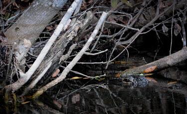 American alligator submerged, USA mangrove forest,mangroves,Mangrove,Aquatic,water,water body,environment,ecosystem,Habitat,eyes,Eye,coast,Coastal,coast line,coastline,marshland,marshes,marsh land,Marsh,face,swamp,Wetland,mire,muskeg,