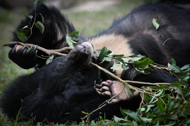 Rescued Asiatic moon bear at Animals Asia sanctuary, Vietnam positive,Animal rescue,rescued,play,entertained,entertaining,playing,entertainment,Playful,Happy,joyful,sanctuary,rescue,shelter,Asiatic black bear,Ursus thibetanus,Bears,Ursidae,Chordates,Chordata,Ca