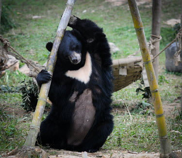 Rescued Asiatic moon bear at Animals Asia sanctuary, Vietnam play,entertained,entertaining,playing,entertainment,Playful,Happy,joyful,Animal rescue,rescued,positive,sanctuary,rescue,shelter,Asiatic black bear,Ursus thibetanus,Bears,Ursidae,Chordates,Chordata,Ca