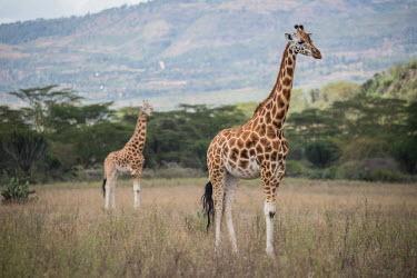 South African giraffe, Africa Terrestrial,ground,patterns,patterned,Pattern,Grassland,environment,ecosystem,Habitat,savannahs,savana,savannas,shrubland,savannah,Savanna,reticulated,coloration,Colouration,Giraffa camelopardalisgira