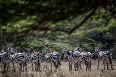 Herd of plains zebra, Africa Grassland,coloration,Colouration,environment,ecosystem,Habitat,stripe,Stripes,stripy,striped,savannahs,savana,savannas,shrubland,savannah,Savanna,herds,gamming,Herd,herding,assemble,Terrestrial,ground