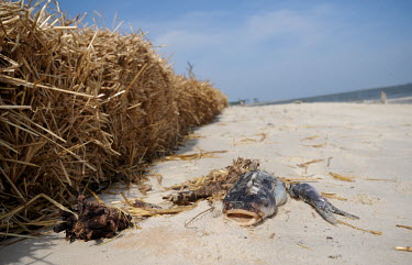 A dead fish along side a straw oil barrier at Dauphin Island, USA