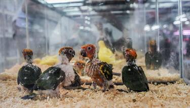 Sun parakeet kept in unhealthy conditions at Chatuchak market, Thailand sun conure,sun parakeet,parakeet,parrot,parrots,market,cruelty,Sun parakeet,Aratinga solstitialis,Chordates,Chordata,Aves,Birds,Parrots,Psittaciformes,Parakeets, Macaws, Parrots,Psittacidae,Yellow con