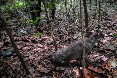Anti-poaching team find a dik-dik caught in a poachers snare, Uganda tropical,Tropical rainforest,tropics,tropic,jungles,jungle,forests,Forest,hunting,Hunting impact,Terrestrial,ground,rain forest,tropical rainforest,tropical forest,Rainforest,Human impact,human influe