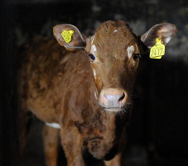 Portrait of a cow calf at farm in Sweden farmed land,farm land,farmland,Farming,industry,farm,Agricultural,Agriculture,Human impact,human influence,anthropogenic,Cattle,Bos taurus