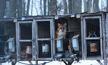 Red fox held in a cage at a fur farm in Quebec, Canada panic,panicked,worried,scared,Afraid,negative,sad,coat,furry,pelt,Fur,furs,Sad,upset,sadness,farmed land,farm land,farmland,Farming,industry,farm,Human impact,human influence,anthropogenic,pet,zoo,cap