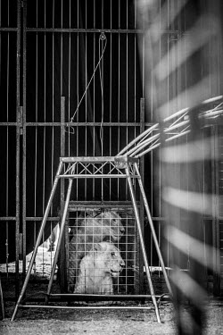 Lions kept in a tiny cage at a French circus pet,zoo,captured,held,Captive,zoological,panic,panicked,worried,scared,Afraid,Tourism,Sad,upset,sadness,Trafficking,wildlife trafficking,animal trafficking,animal traffic,black market,wildlife traffic
