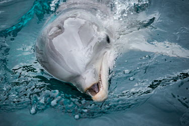 Dolphins held captive for human entertainment in a French aquarium, Nantes Trafficking,wildlife trafficking,animal trafficking,animal traffic,black market,wildlife traffic,pet,zoo,captured,held,Captive,zoological,Human impact,human influence,anthropogenic,Tourism,Bottlenose