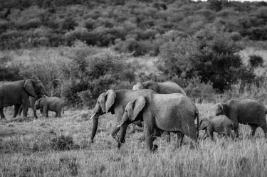 Herd of African elephant, Kenya herds,gamming,Herd,herding,assemble,environment,ecosystem,Habitat,savannahs,savana,savannas,shrubland,savannah,Savanna,Grassland,Terrestrial,ground,African elephant,Loxodonta africana,Elephants,Elepha