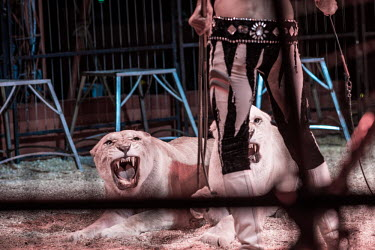 Lion being beaten into submission at a circus in France panic,panicked,worried,scared,Afraid,humans,human,People,homo sapiens,persons,person,homo sapien,guarded,guard,danger,Defensive,defense,protecting,guarding,defence,protective,warn,warning,protect,warn
