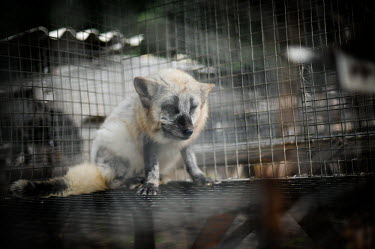 Raccoon dog held in a cage at a fur farm, Europe coat,furry,pelt,Fur,furs,pet,zoo,captured,held,Captive,zoological,Sad,upset,sadness,panic,panicked,worried,scared,Afraid,farmed land,farm land,farmland,Farming,industry,farm,Human impact,human influen