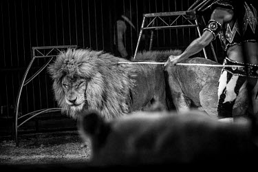Lion being beaten into submission at a circus in France panic,panicked,worried,scared,Afraid,negative,sad,Sad,upset,sadness,Tourism,Trafficking,wildlife trafficking,animal trafficking,animal traffic,black market,wildlife traffic,Human impact,human influenc