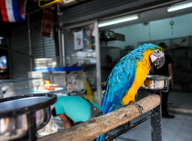Blue-and-yellow macaw kept in unhealthy conditions at Chatuchak market, Thailand Blue-and-yellow macaw,Ara ararauna,Parakeets, Macaws, Parrots,Psittacidae,Parrots,Psittaciformes,Chordates,Chordata,Aves,Birds,IUCN Red List,Flying,South America,Ara,Least Concern,Terrestrial,Animalia
