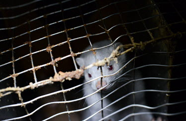 European mink held in a cage, Sweden European mink,Mustela lutreola,Carnivores,Carnivora,Mammalia,Mammals,Weasels, Badgers and Otters,Mustelidae,Chordates,Chordata,Vis�n Europeo,Vison d'Europe,Mustela,Animalia,Subterranean,Wetlands,Criti