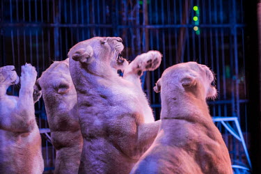 Lions held captive and forced to perform tricks at a French circus pet,zoo,captured,held,Captive,zoological,Trafficking,wildlife trafficking,animal trafficking,animal traffic,black market,wildlife traffic,Tourism,Sad,upset,sadness,panic,panicked,worried,scared,Afraid