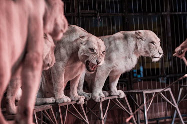 Lions held captive and forced to perform tricks at a French circus Lion,Panthera leo,Felidae,Cats,Mammalia,Mammals,Carnivores,Carnivora,Chordates,Chordata,Lion d'Afrique,Le�n,leo,Animalia,Savannah,Africa,Scrub,Appendix II,Asia,Panthera,Vulnerable,Desert,Terrestrial,C