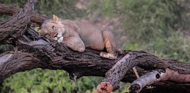 Lioness slumbering on a fallen tree, Kenya Tired,exhaustion,exhausted,sleepy,lazy,swing,hang,hanging,swinging,draped,draping,resting,rested,rest,Lion,Panthera leo,Felidae,Cats,Mammalia,Mammals,Carnivores,Carnivora,Chordates,Chordata,Lion d'Afr