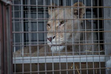 Lion kept in a tiny cage at a French circus negative,sad,Human impact,human influence,anthropogenic,Sad,upset,sadness,Tourism,Trafficking,wildlife trafficking,animal trafficking,animal traffic,black market,wildlife traffic,panic,panicked,worrie