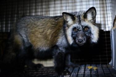 Raccoon dog held in a cage at a fur farm in Quebec, Canada Sad,upset,sadness,coat,furry,pelt,Fur,furs,Human impact,human influence,anthropogenic,negative,sad,pet,zoo,captured,held,Captive,zoological,farmed land,farm land,farmland,Farming,industry,farm,panic,p