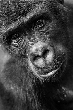 Ape Action Africa sanctuary in Cameroon Temperate rainforest,Portrait,face picture,face shot,Facial portrait,face,Animal rescue,rescued,Western gorilla,Gorilla gorilla,Primates,Mammalia,Mammals,Chordates,Chordata,Hominids,Hominidae,Gorila,G