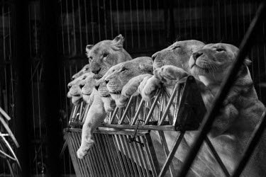 Lions held captive and forced to perform tricks at a French circus Trafficking,wildlife trafficking,animal trafficking,animal traffic,black market,wildlife traffic,Sad,upset,sadness,negative,sad,Tourism,panic,panicked,worried,scared,Afraid,Human impact,human influenc