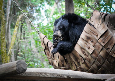 Asiatic black bear resting in a hammock at the Animals Asia sanctuary, Laos Animal rescue,rescued,Asiatic black bear,Ursus thibetanus,Bears,Ursidae,Chordates,Chordata,Carnivores,Carnivora,Mammalia,Mammals,Ours � Collier,Oso De Collar,Ours De L'Himalaya,Ours Du Tibet,Oso Negro