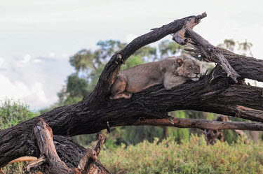Lioness slumbering on a fallen tree, Kenya resting,rested,rest,swing,hang,hanging,swinging,draped,draping,Tired,exhaustion,exhausted,sleepy,lazy,Lion,Panthera leo,Felidae,Cats,Mammalia,Mammals,Carnivores,Carnivora,Chordates,Chordata,Lion d'Afr