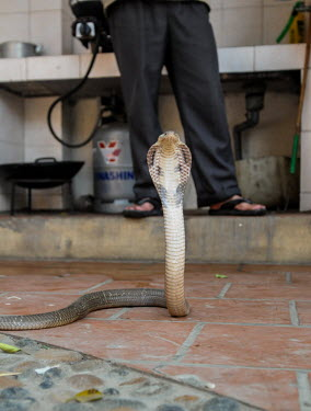 Cobra being sold in a Vietnamese market Resource exploitation,Human impact,human influence,anthropogenic,Animalia,Chordata,Reptilia,Squamata,Elapidae,cobra,cobras,snake,snakes,reptile,market