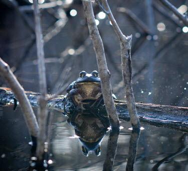 American bullfrog in a swamp, USA swamp,Aquatic,water,water body,fresh water,Freshwater,environment,ecosystem,Habitat,Wetland,mire,muskeg,peatland,bog,Terrestrial,ground,American bullfrog,Lithobates catesbeianus,Ranidae,Ranids,Chordat