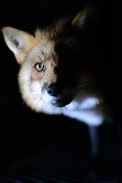 Red fox held in a cage at a fur farm in Quebec, Canada pet,zoo,captured,held,Captive,zoological,negative,sad,farmed land,farm land,farmland,Farming,industry,farm,panic,panicked,worried,scared,Afraid,coat,furry,pelt,Fur,furs,Human impact,human influence,an