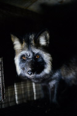 Raccoon dog held in a cage at a fur farm in Quebec, Canada Raccoon dog,Nyctereutes procyonoides,Mammalia,Mammals,Chordates,Chordata,Dog, Coyote, Wolf, Fox,Canidae,Carnivores,Carnivora,Chien Viverrin,Perro Mapache,Urban,Terrestrial,Temperate,Nyctereutes,Asia,O