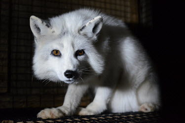 Arctic fox held in a cage at a fur farm in Quebec, Canada Arctic fox,Vulpes lagopus,Carnivores,Carnivora,Mammalia,Mammals,Chordates,Chordata,Dog, Coyote, Wolf, Fox,Canidae,Alopex lagopus,Polar fox,Zorro �rtico,Isatis,Renard Polaire,Reynard Polaire,North Amer