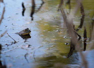American bullfrog in a swamp, USA environment,ecosystem,Habitat,fresh water,Freshwater,Wetland,mire,muskeg,peatland,bog,Aquatic,water,water body,swamp,Terrestrial,ground,American bullfrog,Lithobates catesbeianus,Ranidae,Ranids,Chordat