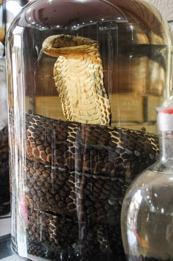 Dead cobra sold as snake wine in a Vietnamese market Stage,Dead,Animalia,Chordata,Reptilia,Squamata,Elapidae,cobra,cobras,snake,snakes,reptile,snake wine,market