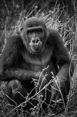 Ape Action Africa sanctuary in Cameroon Portrait,face picture,face shot,Facial portrait,face,Temperate rainforest,Animal rescue,rescued,Western gorilla,Gorilla gorilla,Primates,Mammalia,Mammals,Chordates,Chordata,Hominids,Hominidae,Gorila,G
