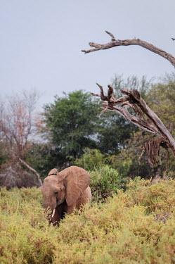 African elephant, Kenya face,Tusks,tusk,Grassland,ear,Ears,Terrestrial,ground,environment,ecosystem,Habitat,savannahs,savana,savannas,shrubland,savannah,Savanna,African elephant,Loxodonta africana,Elephants,Elephantidae,Chor