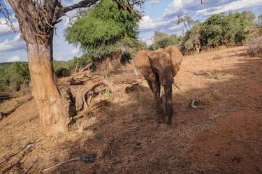 African elephant, Kenya African elephant,Loxodonta africana,Elephants,Elephantidae,Chordates,Chordata,Elephants, Mammoths, Mastodons,Proboscidea,Mammalia,Mammals,savanna elephant,Loxodonta africana africana,�l�phant d'Afriqu