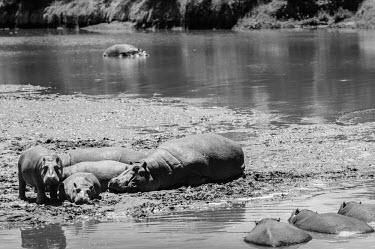 Hippopotamus family slumber in mud, Kenya Basking,sunbathing,bask,sunbathe,resting,rested,rest,Hippopotamus,Hippopotamus amphibius,Hippopotamidae,Hippopotamuses,Mammalia,Mammals,Even-toed Ungulates,Artiodactyla,Chordates,Chordata,Hippo,common