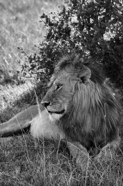 Lion resting in shade, Kenya Terrestrial,ground,environment,ecosystem,Habitat,resting,rested,rest,savannahs,savana,savannas,shrubland,savannah,Savanna,Grassland,African elephant,Loxodonta africana,Elephants,Elephantidae,Chordates