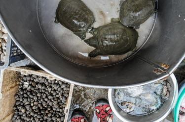 Softshell turtles kept in cramped buckets, for sale in a Vietnamese market Animalia,Chordata,Reptilia,Testudines,Trionychidae,turtle,turtles,softshell,softshell turtle,Vietnam,reptile,Softshell turtle