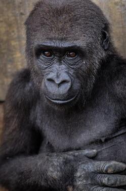 Ape Action Africa sanctuary in Cameroon Temperate rainforest,Portrait,face picture,face shot,Animal rescue,rescued,Facial portrait,face,Western gorilla,Gorilla gorilla,Primates,Mammalia,Mammals,Chordates,Chordata,Hominids,Hominidae,Gorila,G